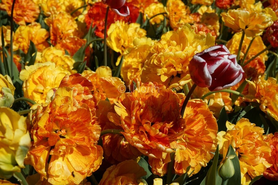 Tulips of the Netherlands 2 of 7  Print
