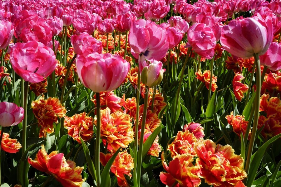 Tulips of the Netherlands 3 of 7  Print
