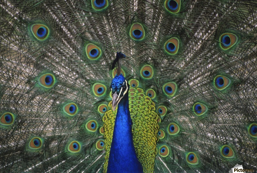 Peacock In Open Feathers, Victoria, Bc Canada  Print