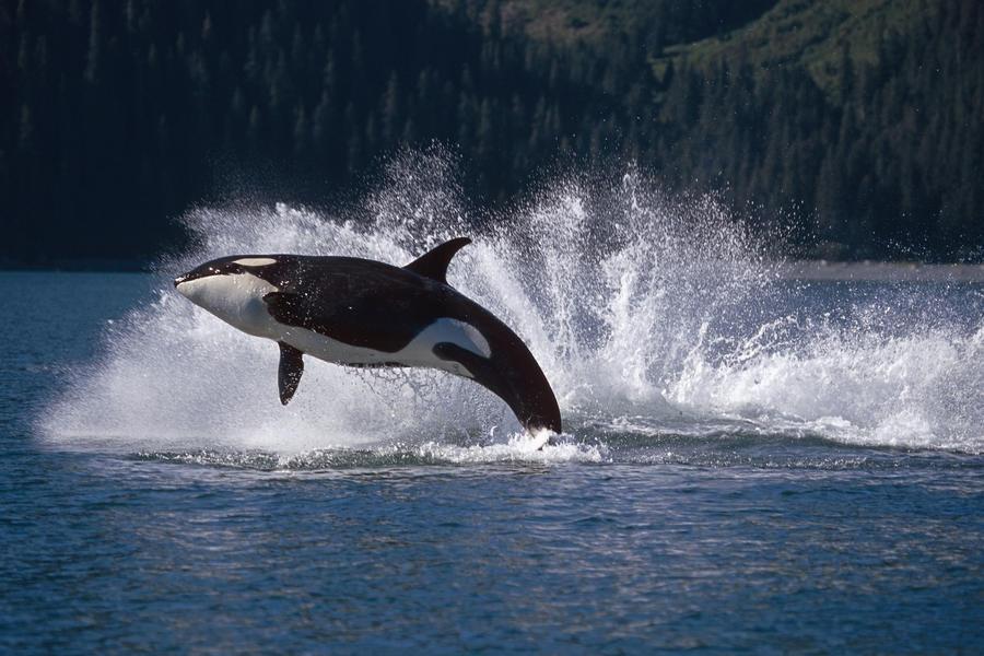 Double Breaching Orcas Bainbridge Passage Prince William Sound Alaska Summer Southcentral  Print
