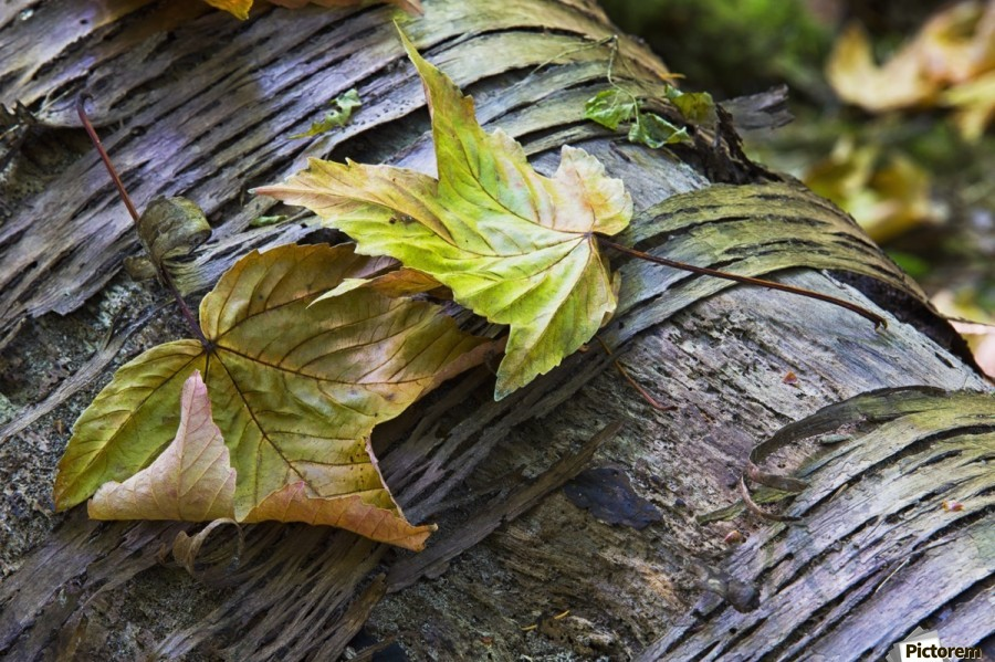Maple leaves in autumn as they lay across a rotting log in a forest;British columbia canada  Print