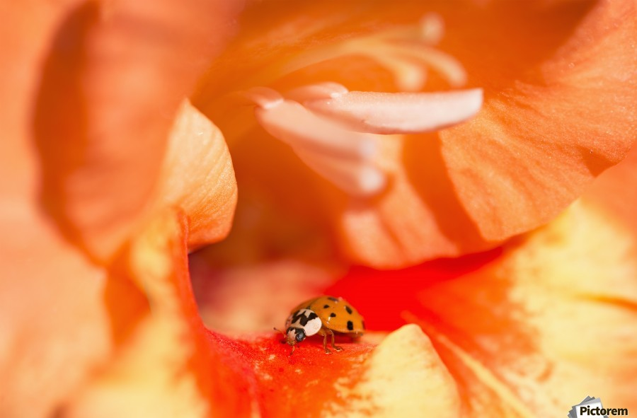 A Ladybug Beetle Searches For Prey In A Gladiolus Blossom; Astoria, Oregon, United States Of America  Print