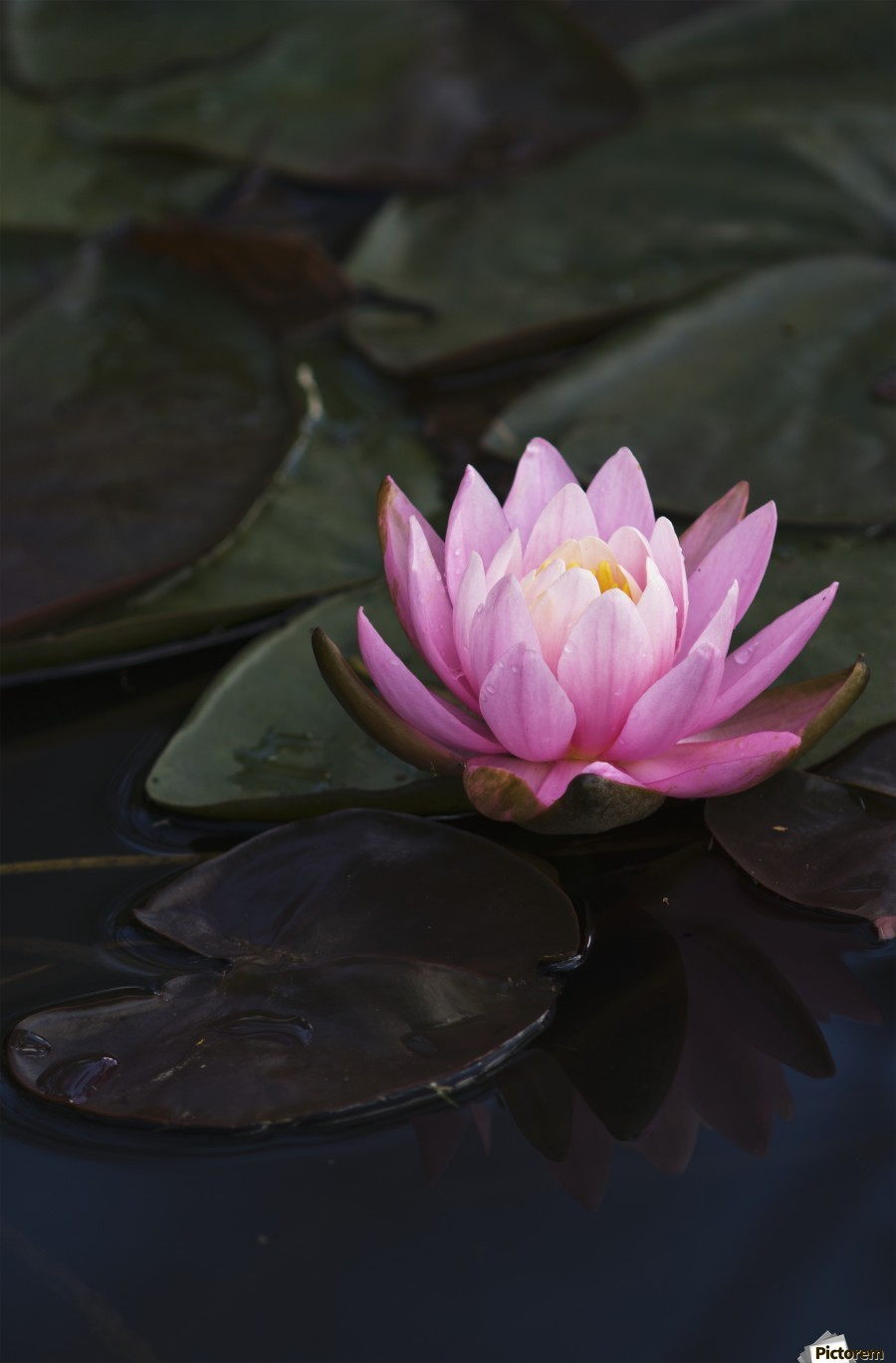 A water lily blooms in a pond; Astoria, Oregon, United States of America  Print
