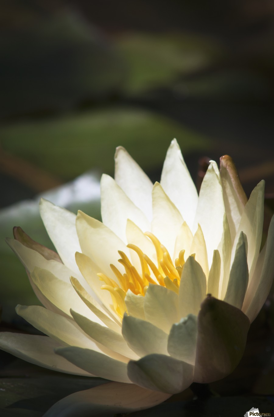 Water lily blooms in a pond; Astoria, Oregon, United States of America  Print