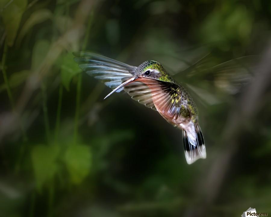 Hummingbird 1B by Leigh Pelton   Print