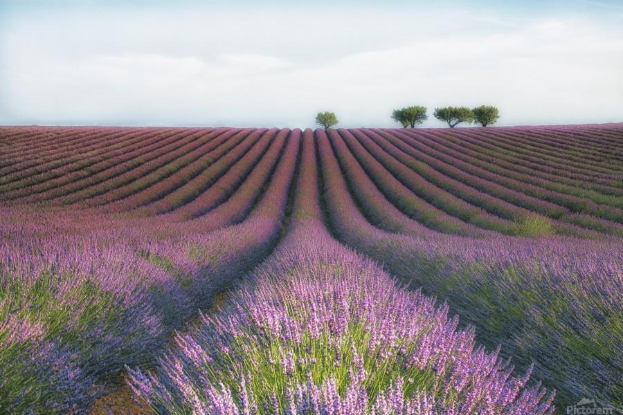 Velours de Lavender  Print