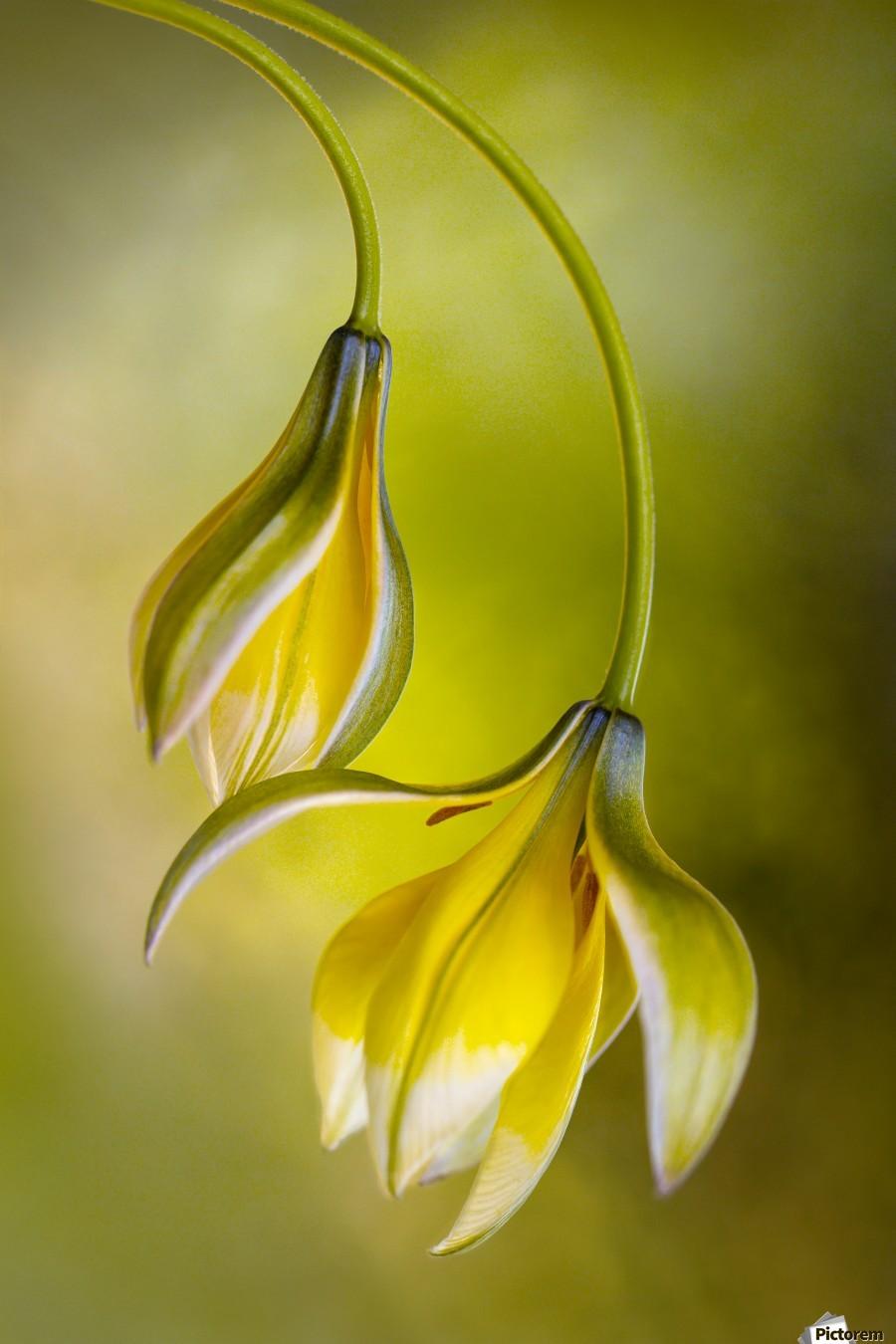 Tulipa  Print