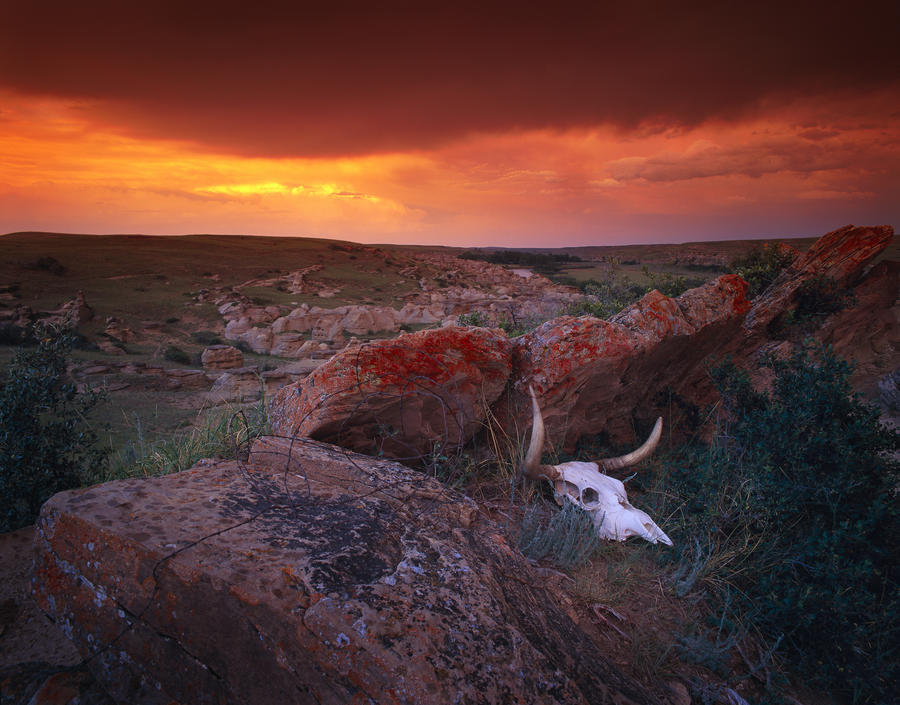 Cow Skull With Large Rocks In Field With Sunset, Writing On Stone Provincial Park, Alberta, Canada  Print