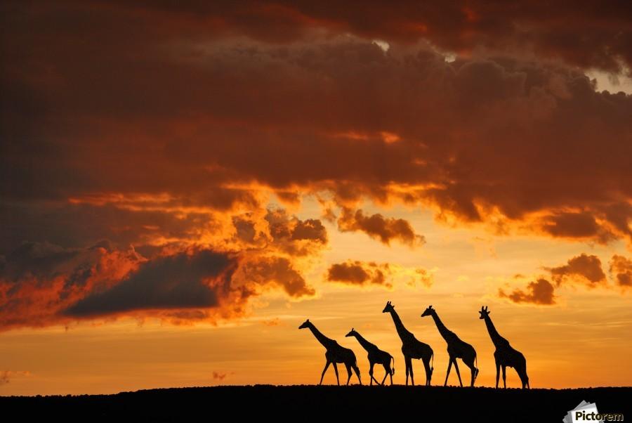 Five Giraffes  Print