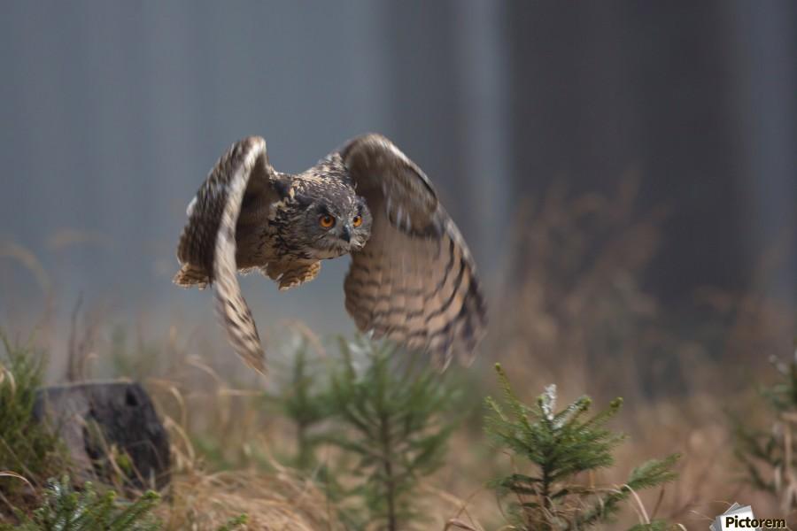 Eurasian Eagle-Owl by Milan Zygmunt   Print