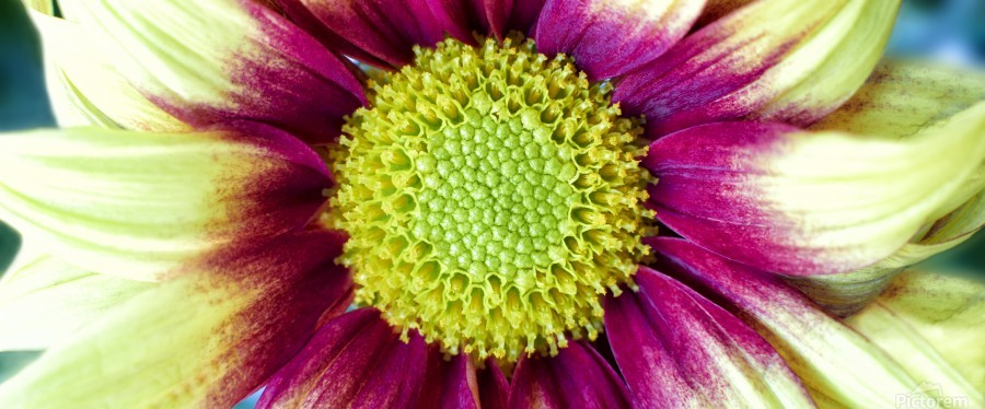 Chrysanthemum Daisy  Print
