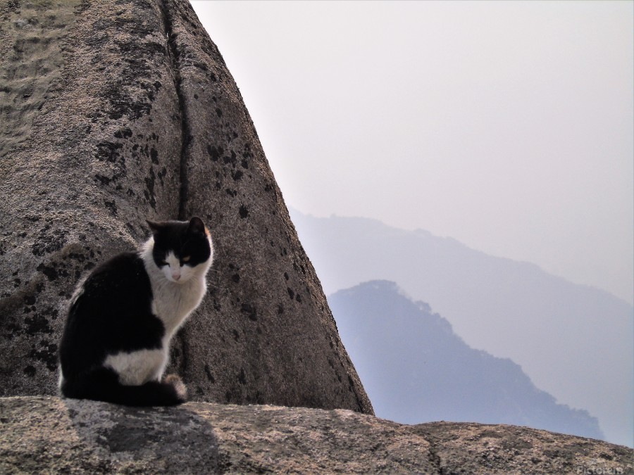 Mountain Cat  Print