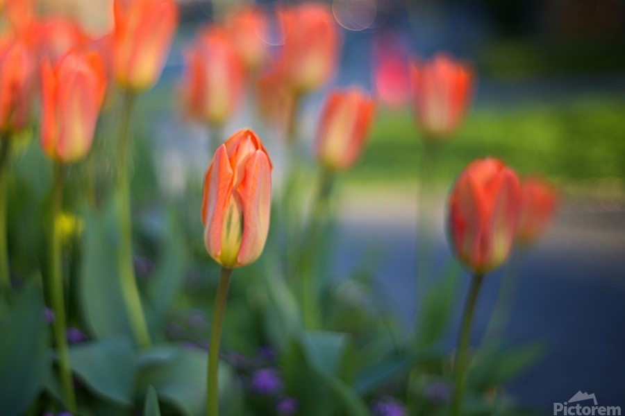 Tulips For You  Print