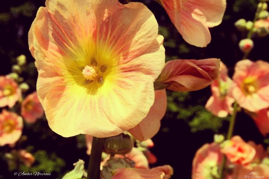 Mid Summer Blossom  Print