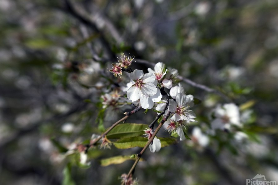 Flowering almonds 2  Print