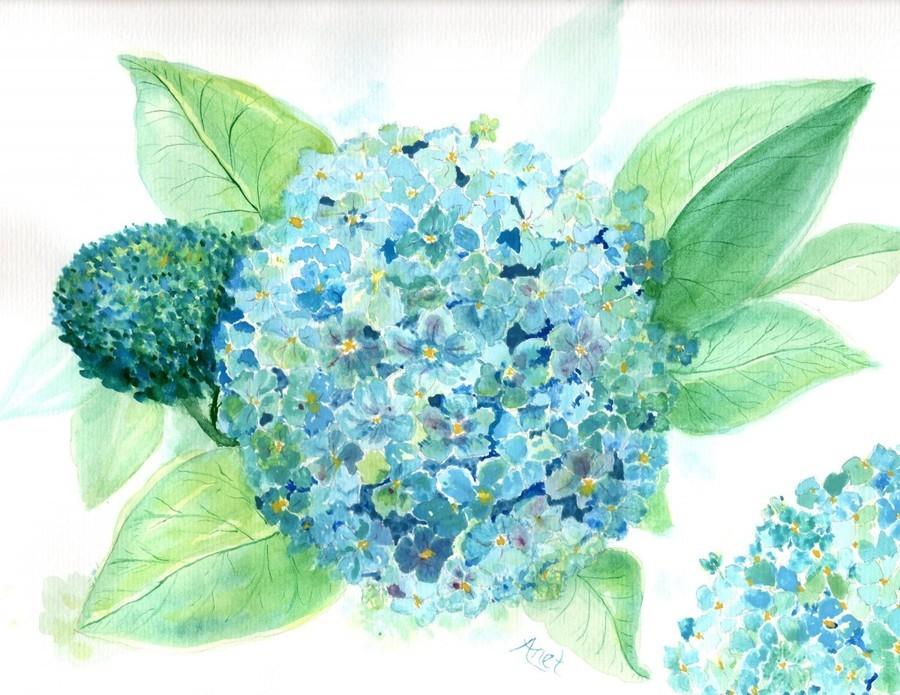 Lovely Blue Hydrangia   Print