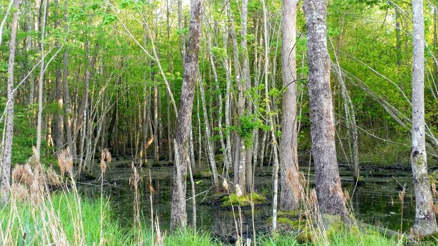 Swamp in Carolina  Print