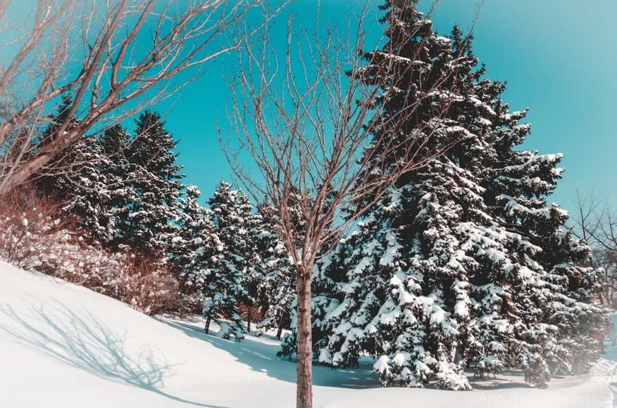 Snowy Pine Trees  Print