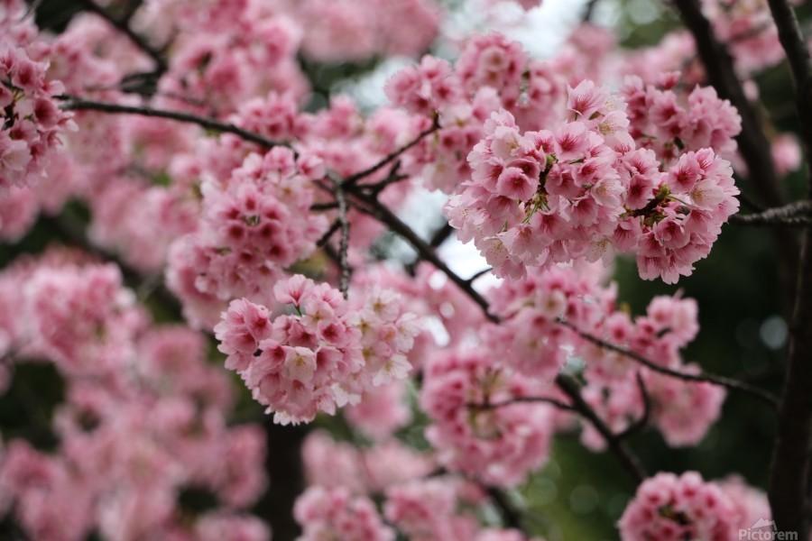 Sakura   Print