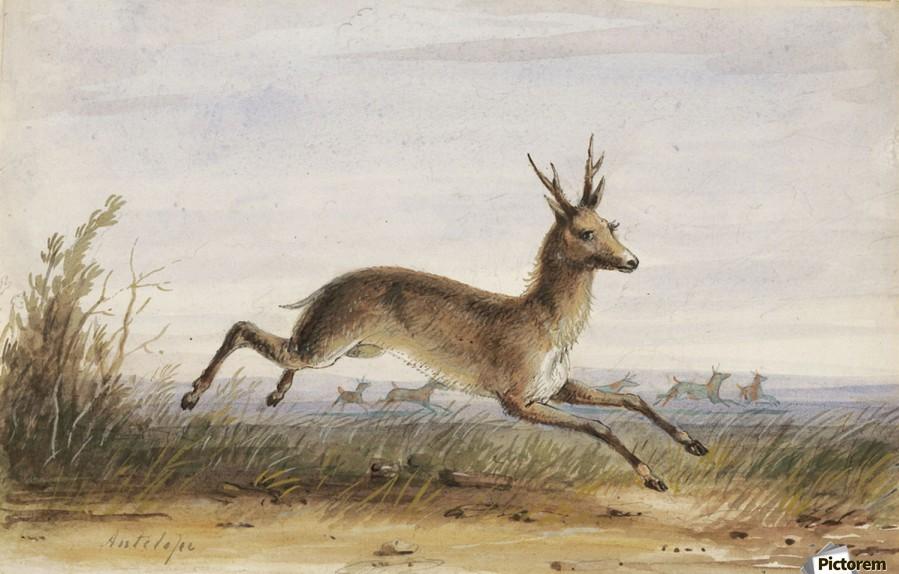 Antelope  Print