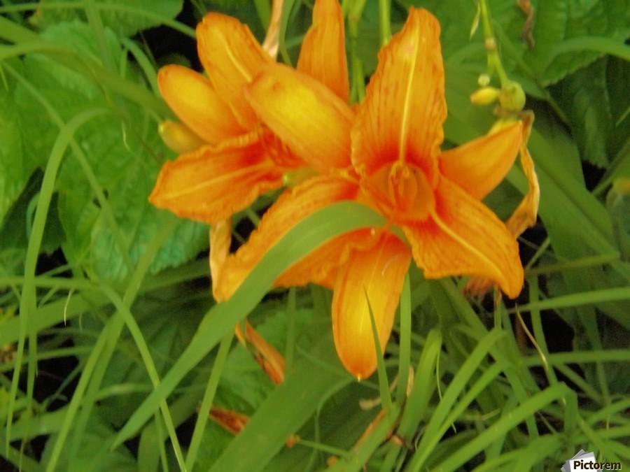 Oranger Lilly 2  Print