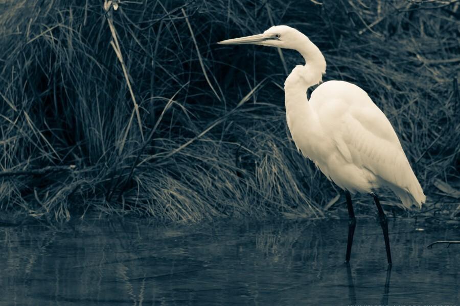 Great White Egret ap 1839 B&W  Print