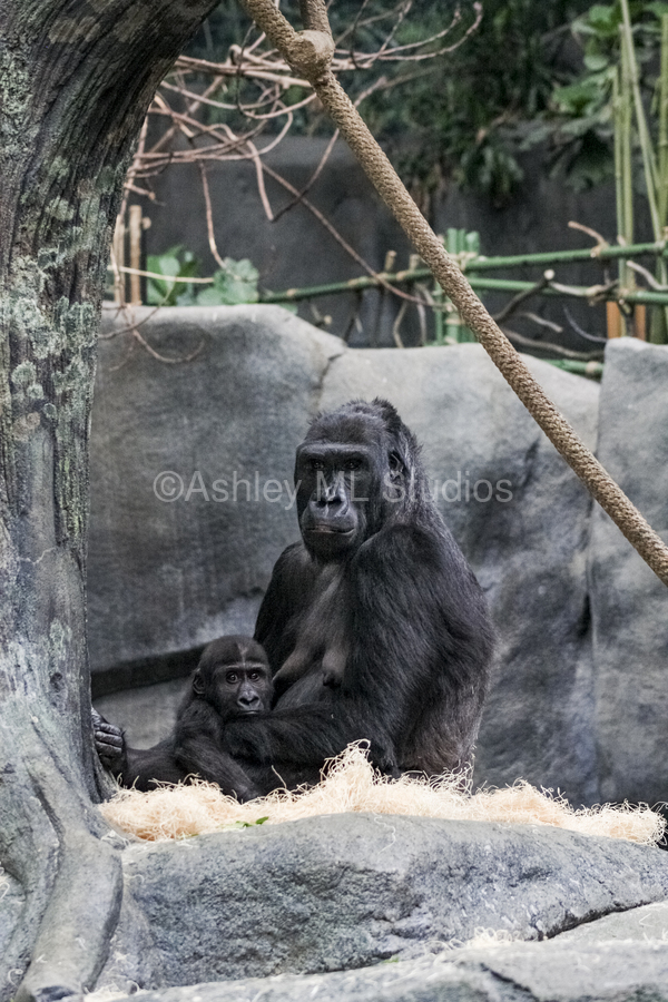 Baby Gorilla   Print