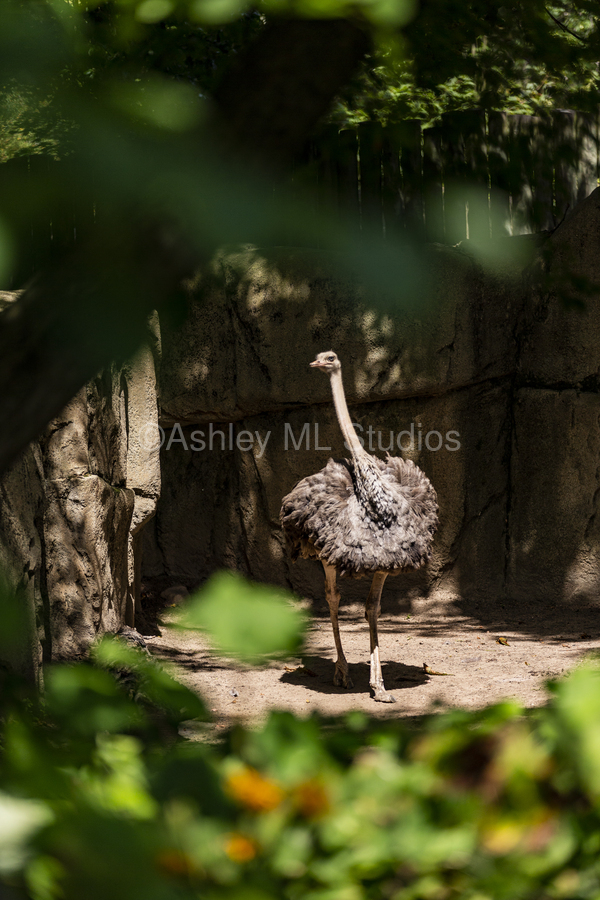 Feathers Fluffed  Ostrich   Print