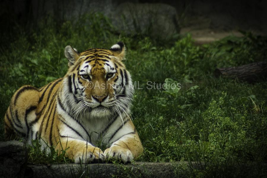 Next Strike  Tiger   Print