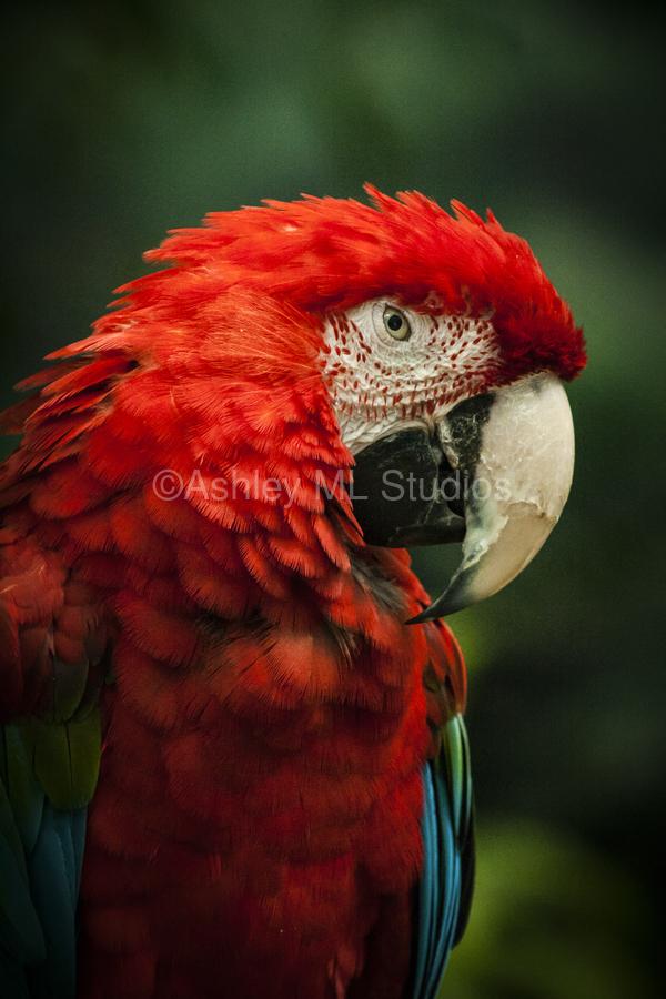 Parrot Portrait  Print
