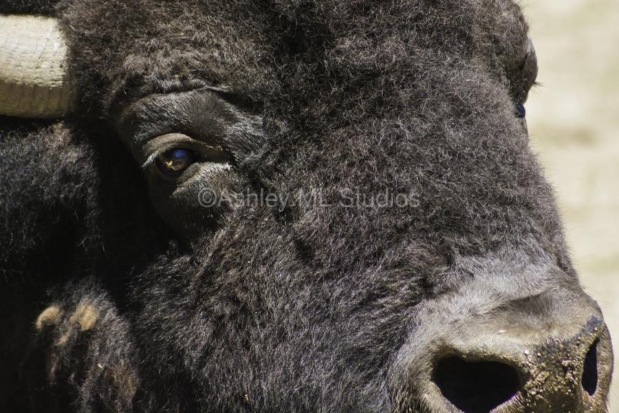 Reflection of a Buffalo  Print