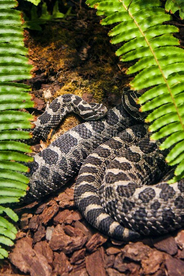 Soaking up Shade   Rattle Snake   Print