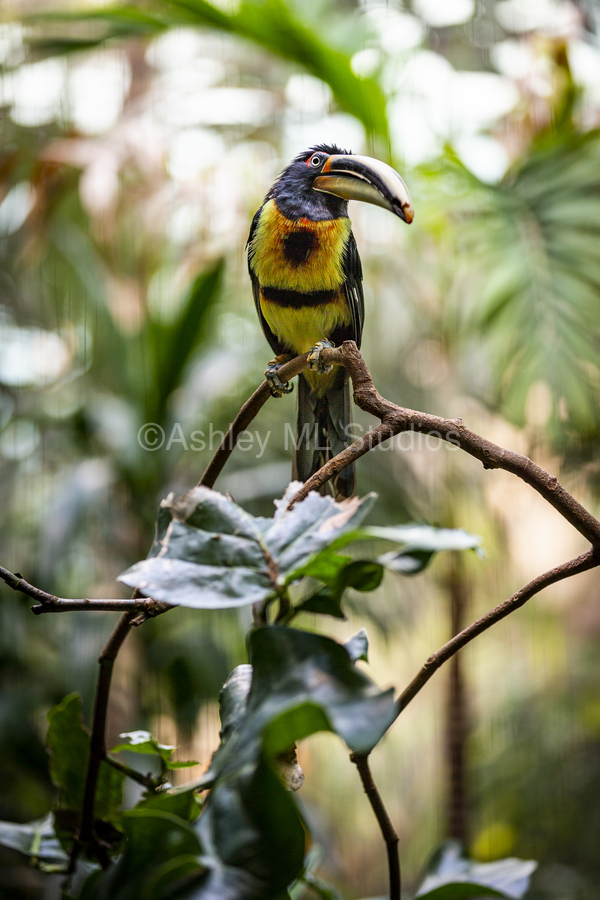 Standing Out  Tucan   Print