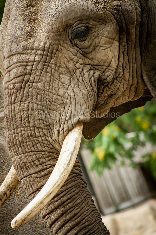 Wrinkles  Elephant   Print