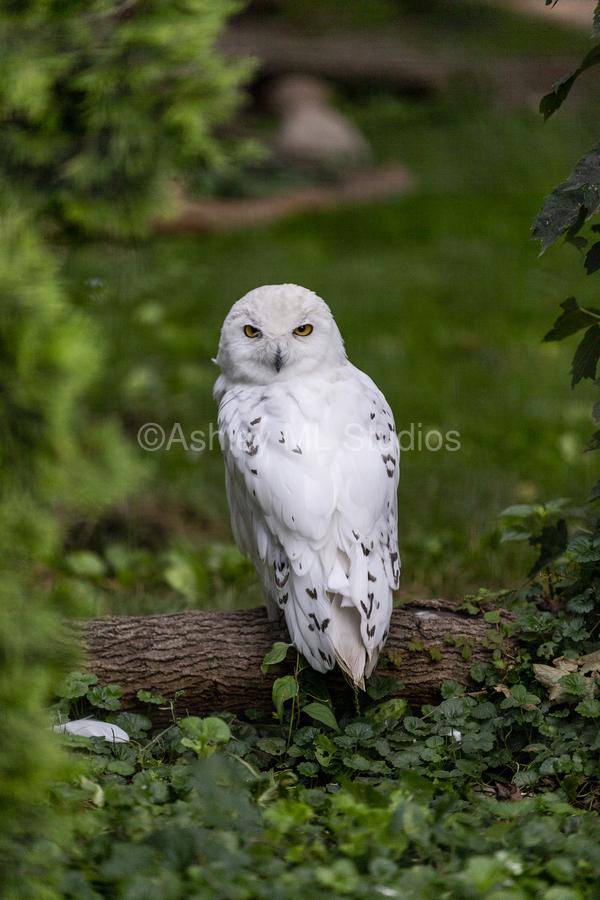 Yellow Eyes  Snow Owl   Print
