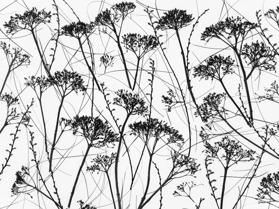 Silhouette of dried plants  Print