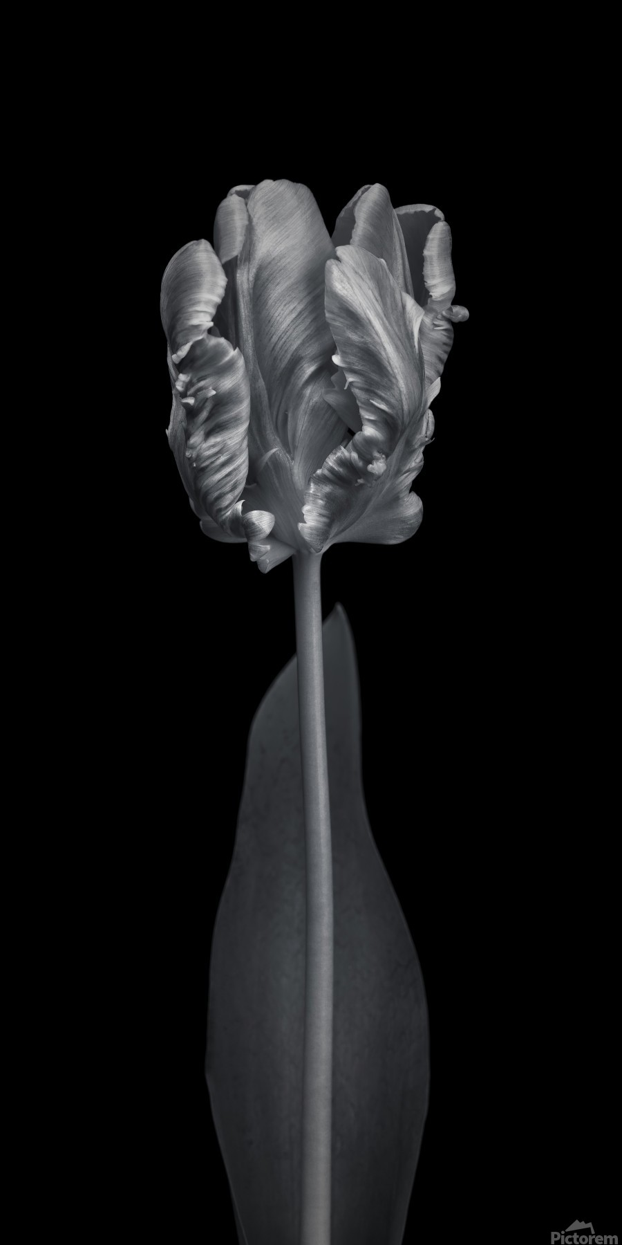 Rcoco tulip, side view  Print