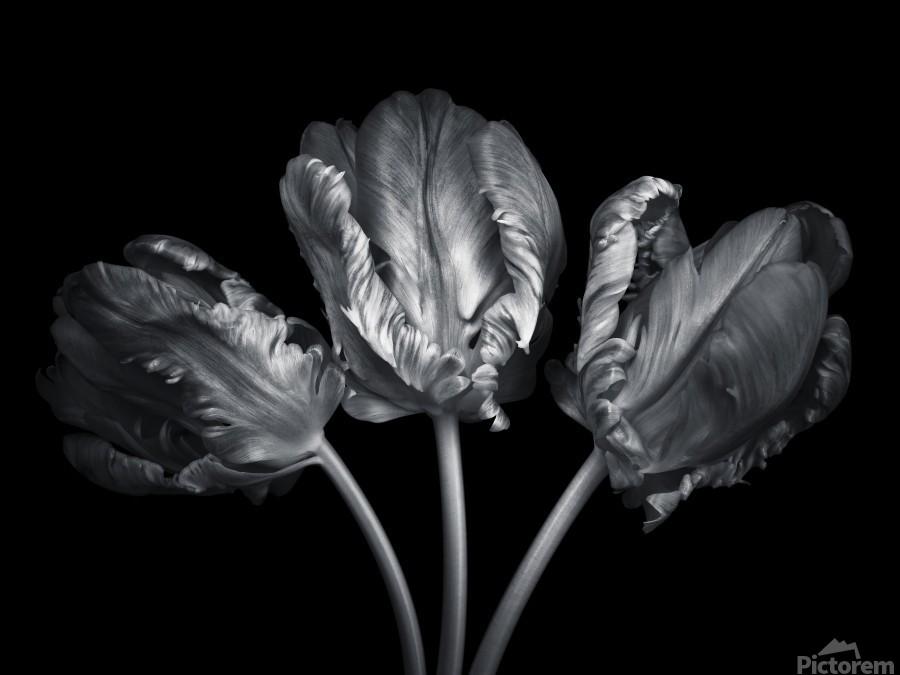 Three rococo tulips close-up  Print