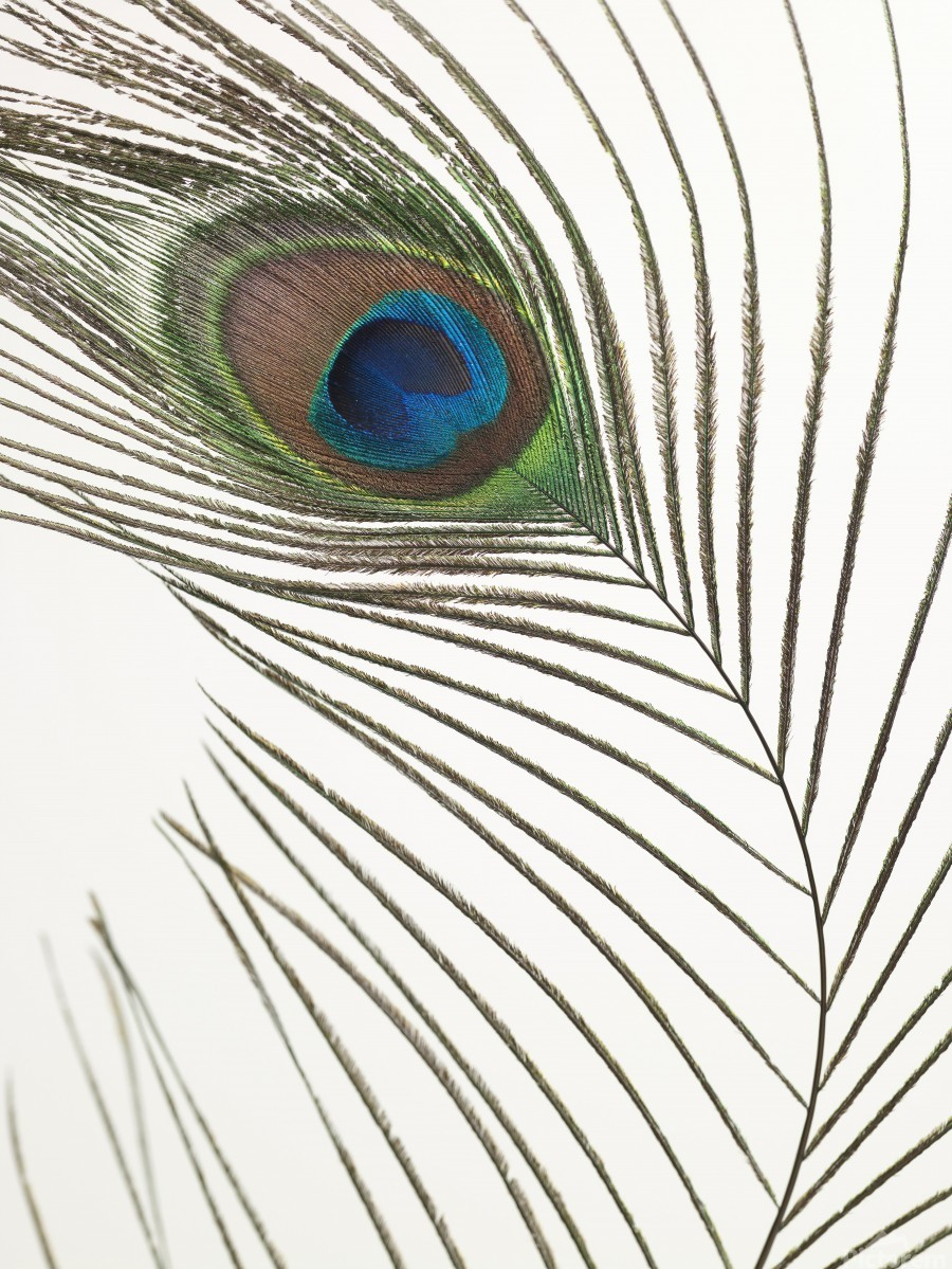 Peacock feather  Imprimer