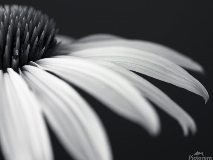 Coneflower close-up  Print