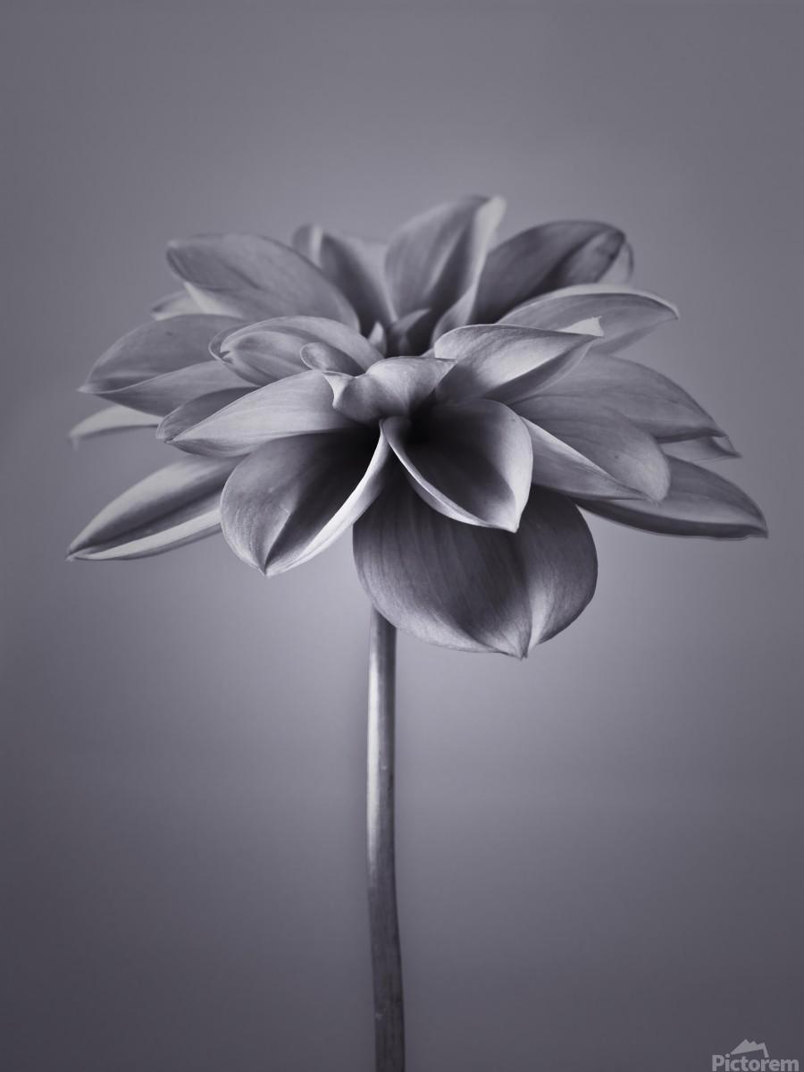 Dahlia Flower  Print