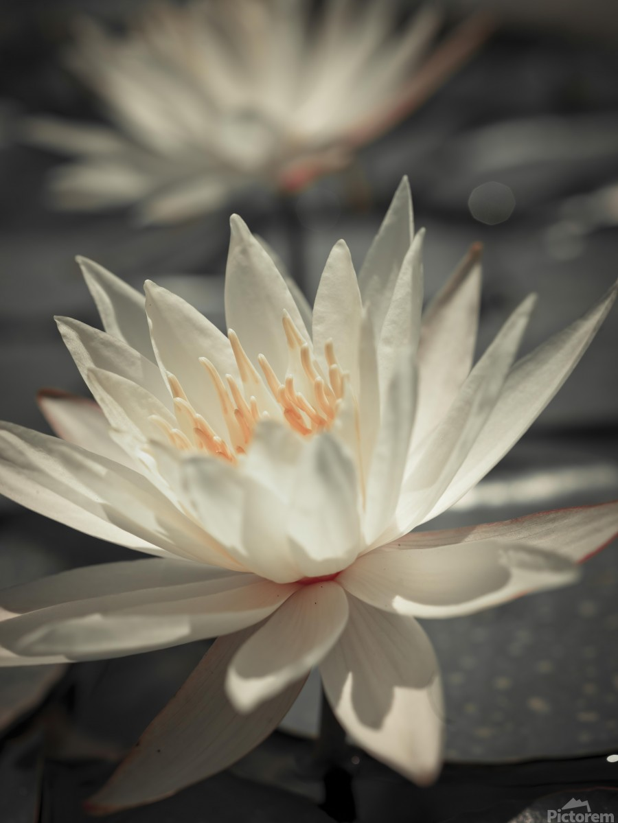 Water Lily  Print