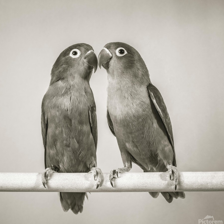 Two love birds kissing  Print