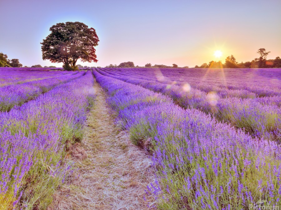 Lavender field at sunset  Print