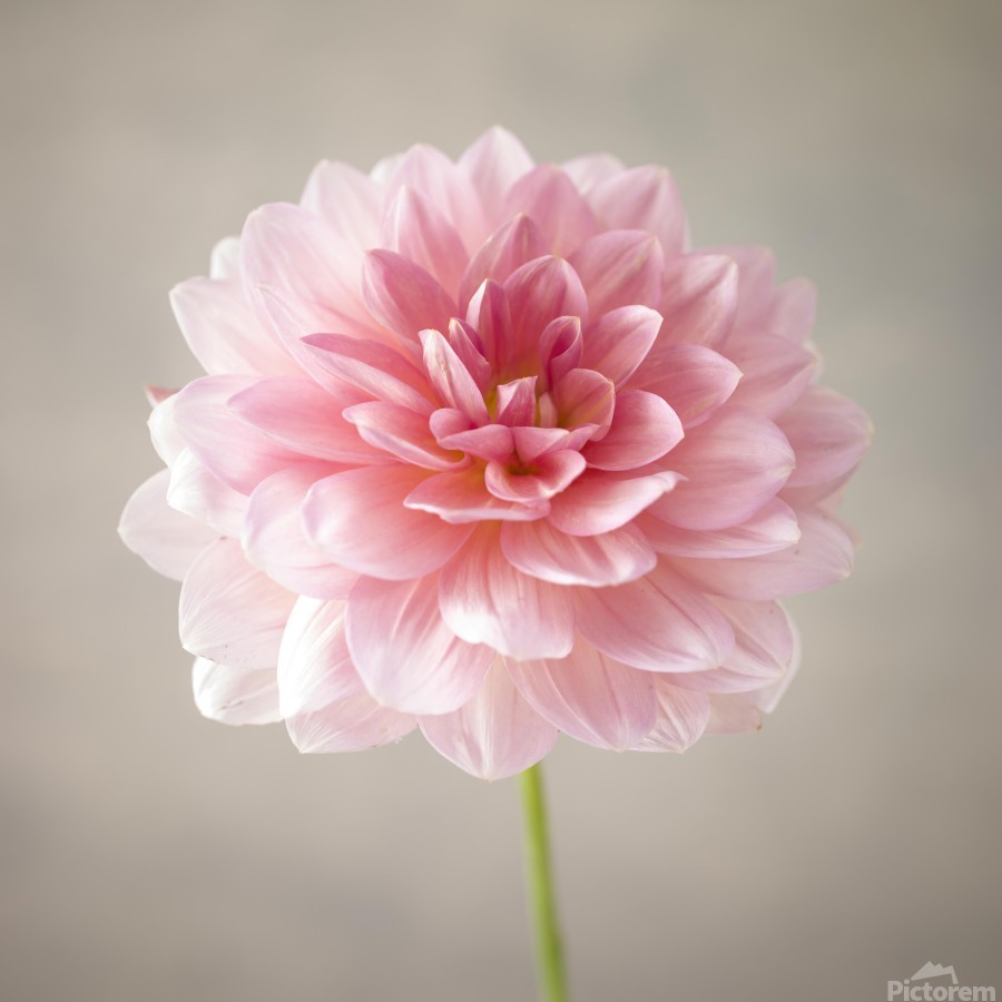 Dahlia flower on colored background  Print