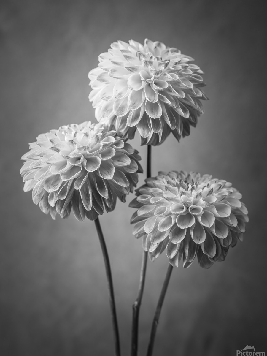 Three Dahlia flowers  Print