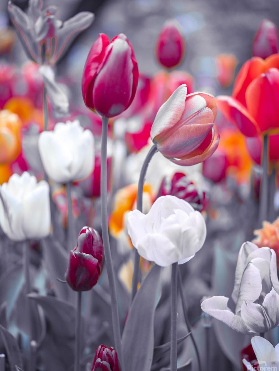 Colorful Tulip flowers  Print