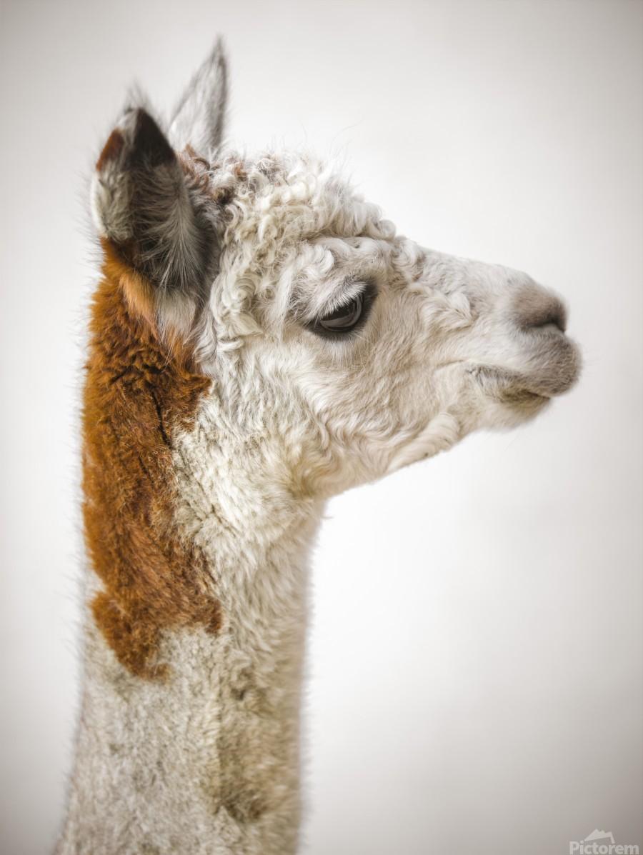 Close-up of Alpaca  Print