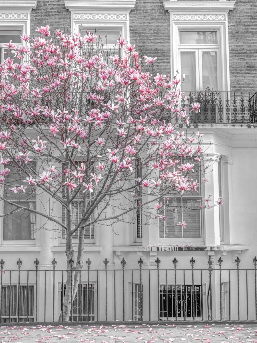 Magnolia tree outside house in London  Print
