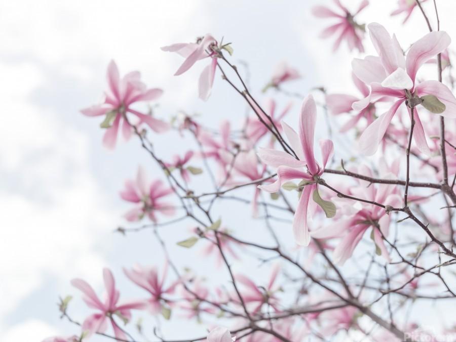 Magnolias against sky  Print